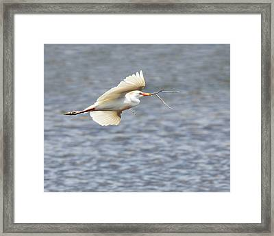 Cattle Egret In Flight Framed Print by Dawn Currie
