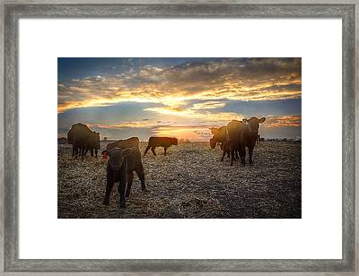 Cattle Sunset 2 Framed Print by Thomas Zimmerman
