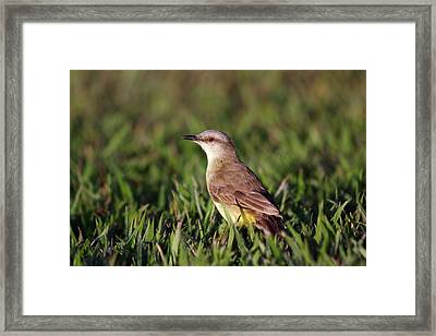 Cattle Tyrant Framed Print by Paul Williams