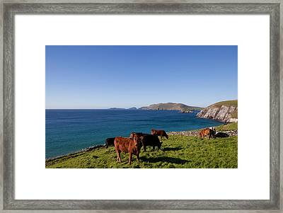 Cattle With Distant Blasket Islands Framed Print by Panoramic Images