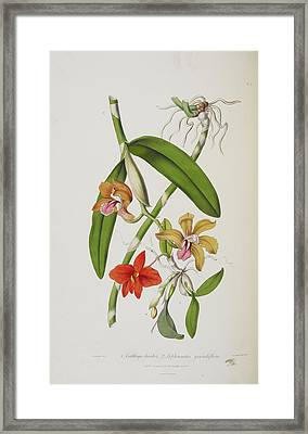 Cattleya Bicolor Framed Print by British Library