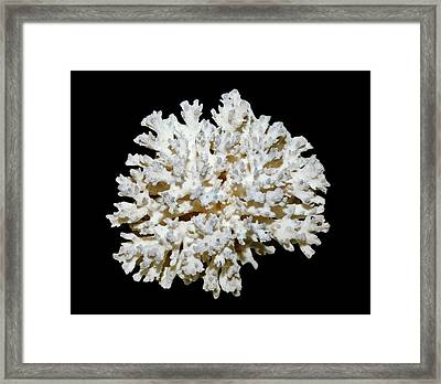 Cauliflower Coral (pocillopora Sp.) Framed Print by Dirk Wiersma