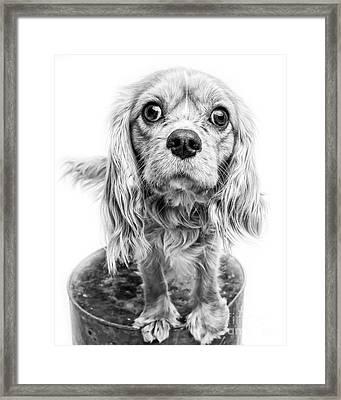 Cavalier King Charles Spaniel Puppy Dog Portrait Framed Print by Edward Fielding