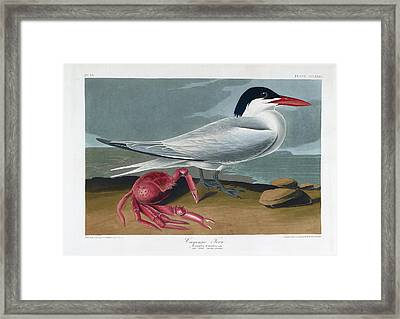 Cayenne Tern Framed Print by British Library