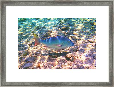 Cayman Snapper Framed Print by Carey Chen