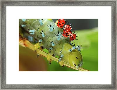 Cecropia Moth Caterpillar Framed Print by Tomasz Litwin