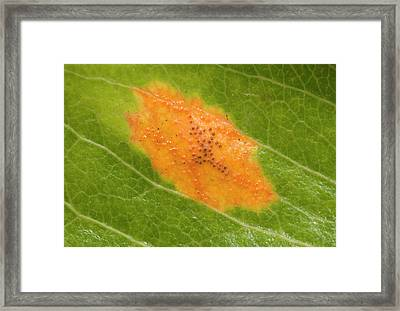 Cedar Apple Rust On A Leaf Framed Print by Nigel Downer