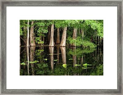 Cedar Trees In Suwannee River, Florida Framed Print by Sheila Haddad