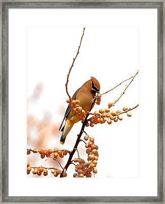 Cedar Wax Wing Framed Print by Floyd Tillery