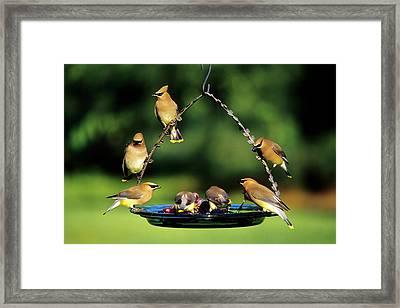 Cedar Waxwings (bombycilla Cedrorum Framed Print by Richard and Susan Day