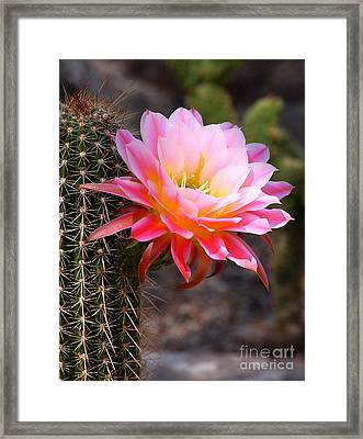 Cereus In Pink Framed Print by Ruth Jolly