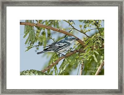 Cerulean Warbler Framed Print by Anthony Mercieca
