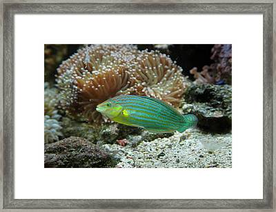 Chain-lined Wrasse, Kula Eco Park Framed Print by David Wall