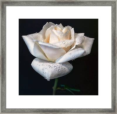 Champagne Rose Flower Macro Framed Print by Jennie Marie Schell