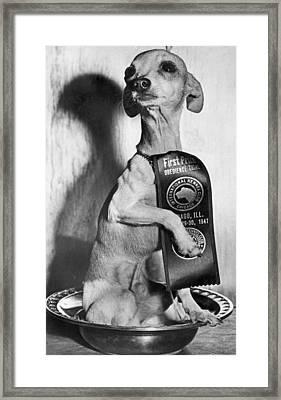 Champion Chihauhau Framed Print by Underwood Archives