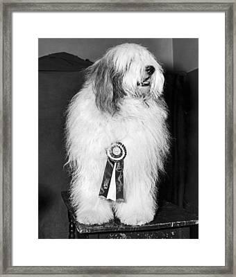 Champion Sheepdog Framed Print by Underwood Archives