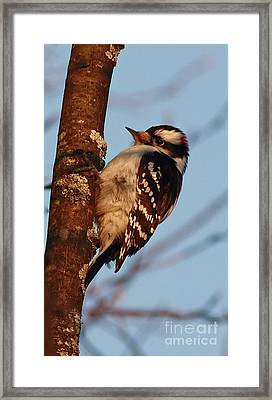 Charming Downey Woodpecker  Framed Print by Inspired Nature Photography Fine Art Photography