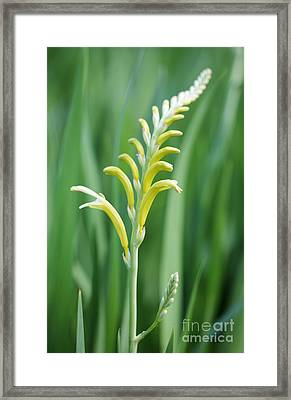 Chasmanthe  Framed Print by Neil Overy