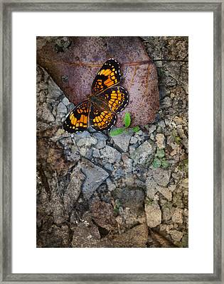 Checkerspot Butterfly Framed Print by Melinda Fawver