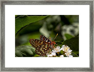 Checkerspot Sipping Nectar Framed Print by Kathleen Bishop