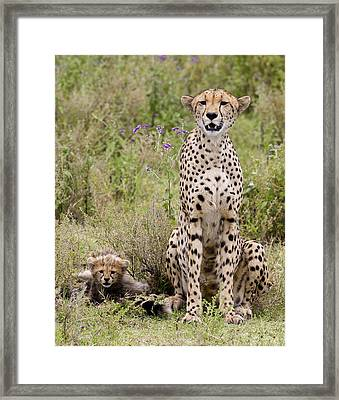 Cheetah  Acinonyx Jubatus Framed Print by Carol Gregory