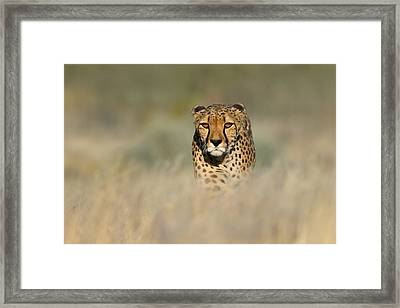 Cheetah Acinonyx Jubatus In A Field Framed Print by Panoramic Images