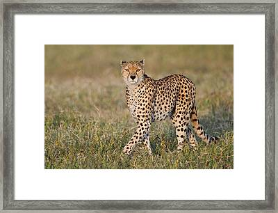 Cheetah Acinonyx Jubatus In A Forest Framed Print by Panoramic Images
