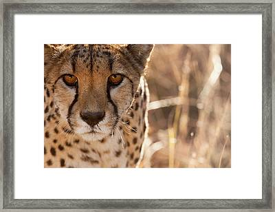 Cheetah Conservation Fund, Namibia Framed Print by Janet Muir