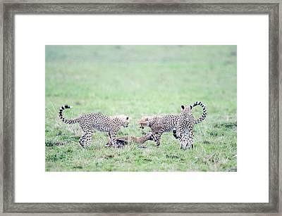 Cheetah Cubs Acinonyx Jubatus Hunting Framed Print by Panoramic Images