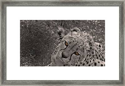 Cheetah Eyes Framed Print by Martin Newman