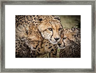 Cheetah Family Portrait Framed Print by Mike Gaudaur