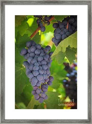 Chelan Blue Grapes Framed Print by Inge Johnsson