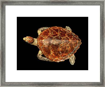 Chelonia Mydas Framed Print by Natural History Museum, London