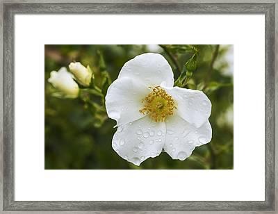 Cherokee Rose With Rain Drops Framed Print by Vishwanath Bhat