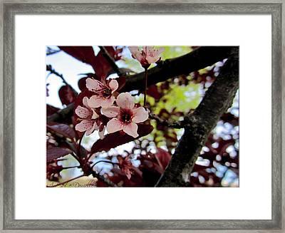 Cherry Blosoms Framed Print by Danielle  Parent