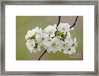 Cherry Blossom Cluster Framed Print by Robert E Alter Reflections of Infinity