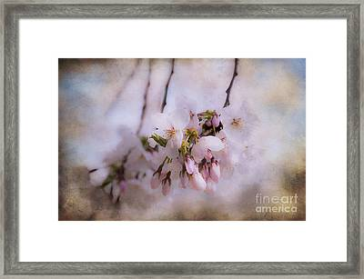 Cherry Blossom Dreams Framed Print by Terry Rowe