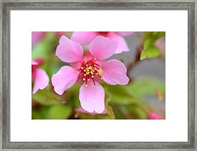 Cherry Blossom Framed Print by Lisa Phillips