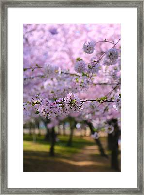 Cherry Blossom Framed Print by Mitch Cat