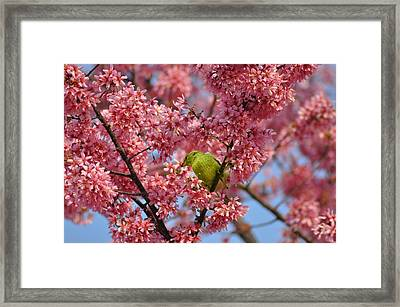Cherry Blossom Time Framed Print by Bill Cannon