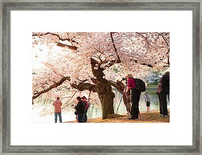 Cherry Blossoms 2013 - 006 Framed Print by Metro DC Photography
