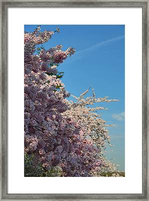 Cherry Blossoms 2013 - 046 Framed Print by Metro DC Photography