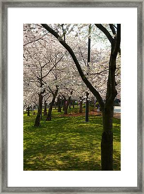 Cherry Blossoms 2013 - 057 Framed Print by Metro DC Photography