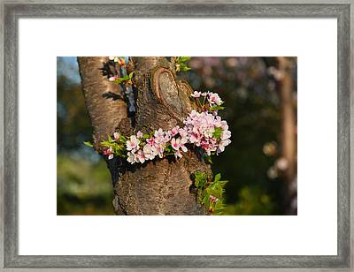 Cherry Blossoms 2013 - 064 Framed Print by Metro DC Photography