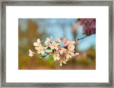 Cherry Blossoms 2013 - 073 Framed Print by Metro DC Photography
