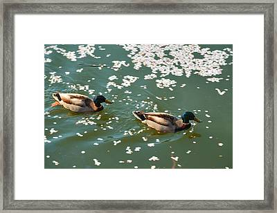 Cherry Blossoms 2013 - 091 Framed Print by Metro DC Photography