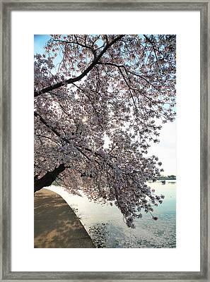 Cherry Blossoms 2013 - 092 Framed Print by Metro DC Photography