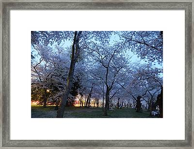 Cherry Blossoms 2013 - 100 Framed Print by Metro DC Photography