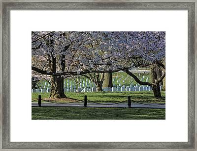 Cherry Blossoms Adorn Arlington National Cemetery Framed Print by Susan Candelario