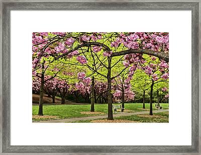Cherry Blossoms Along Cherry Esplanade Framed Print by F. M. Kearney